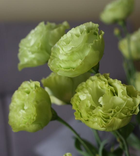 eustoma wielkokwiatowa